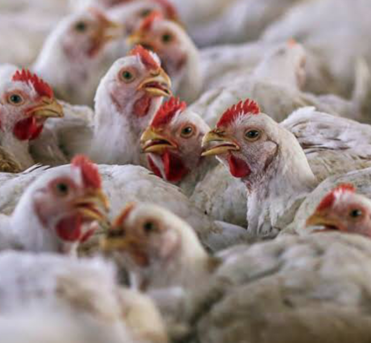 Consumers Association urges government to ban South African poultry products amid bird flue outbreak